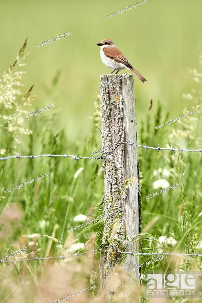 Photo de stock: Red-backed shrike female (Lanius collurio) perched on a fence post. Cher Valley. France.