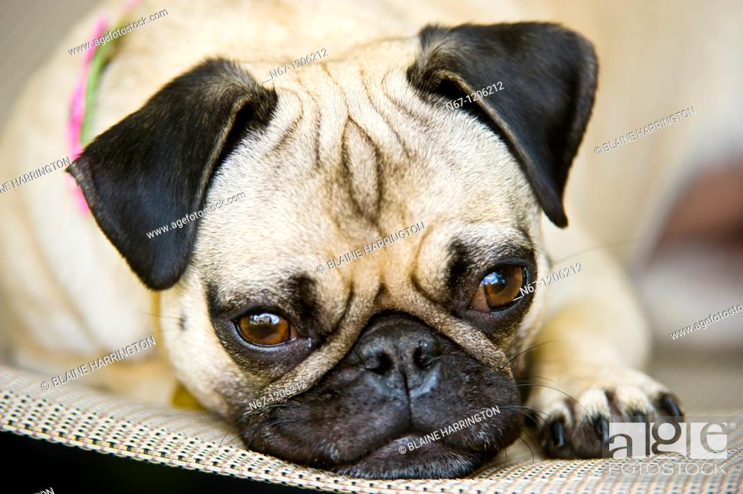Stock Photo: Pug, Littleton, Colorado USA.