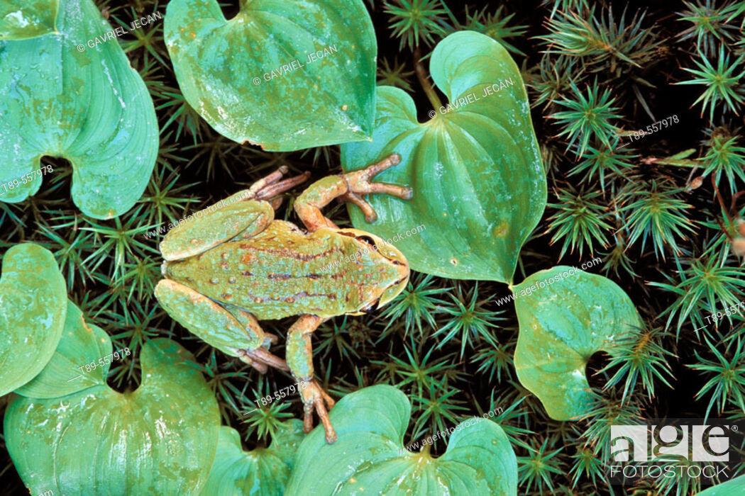 Stock Photo: North America, USA, Washington, Olympic National Park, Hoh Rainforest, Green Frog ( Rana Fam.).