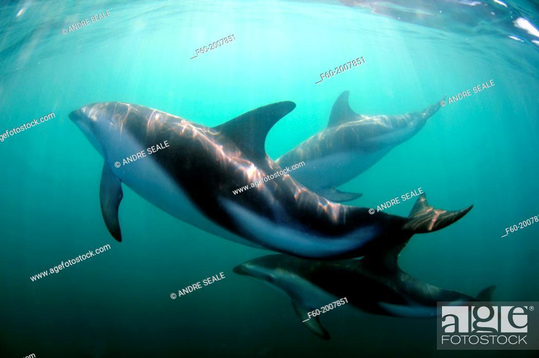 Stock Photo: Dusky dolphin, Lagenorhynchus obscurus, Kaikoura, South Island, New Zealand.