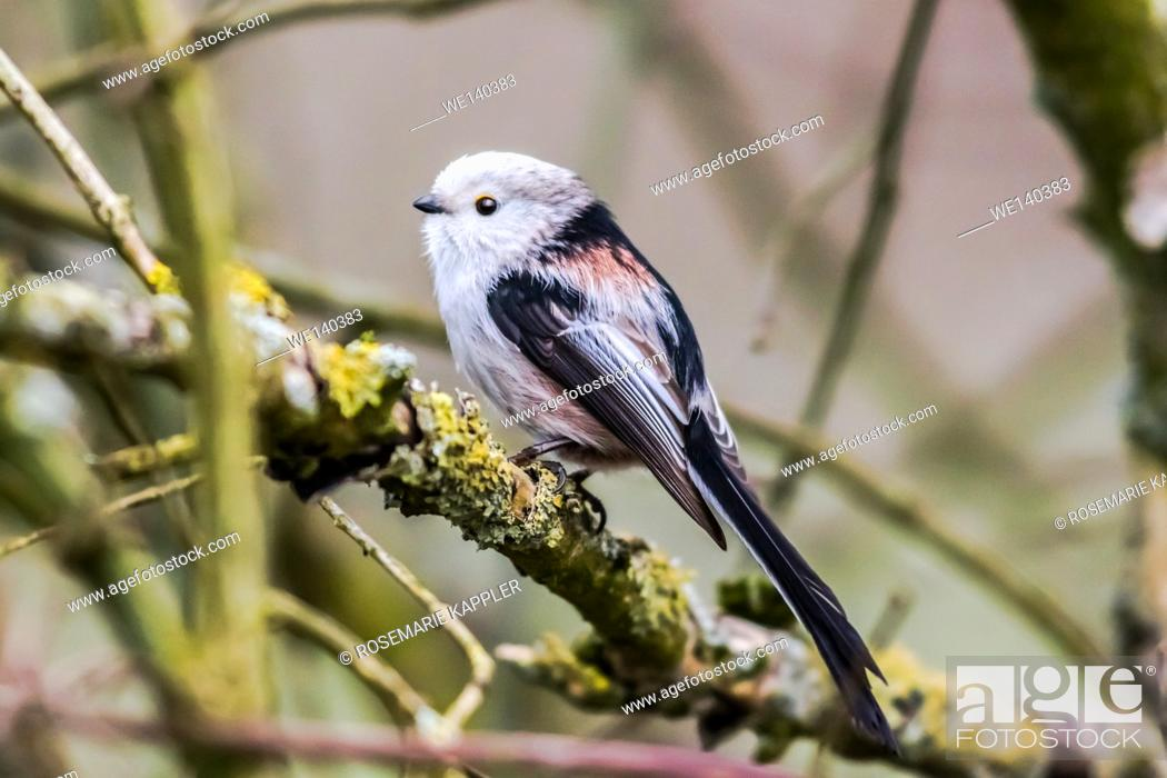Stock Photo: Germany, Saarland, Homburg, A long-tailed tit is sitting on a branch.