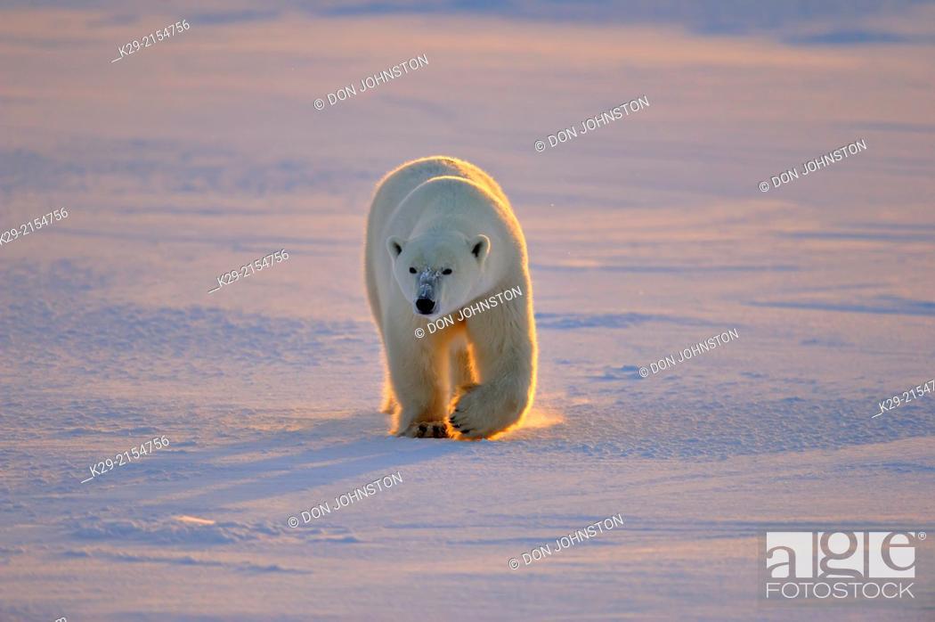 Stock Photo: Polar bear (Ursus maritimus), Wapusk NP, Cape Churchill, Manitoba, Canada.