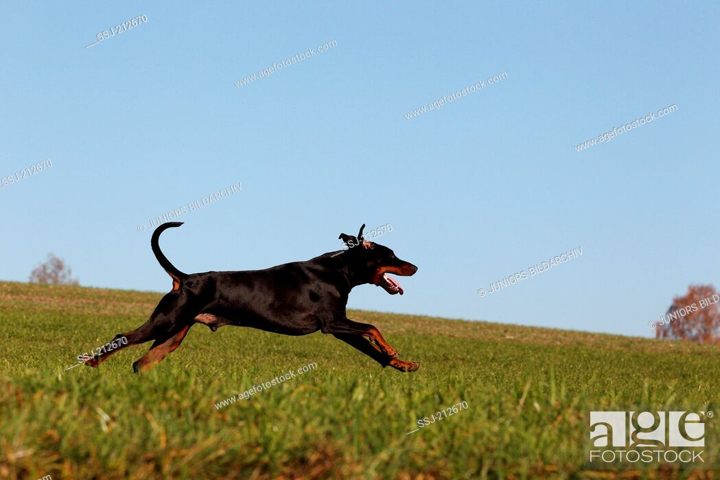 Stock Photo: Doberman Pinscher. Adult male running on a meadow. Germany.