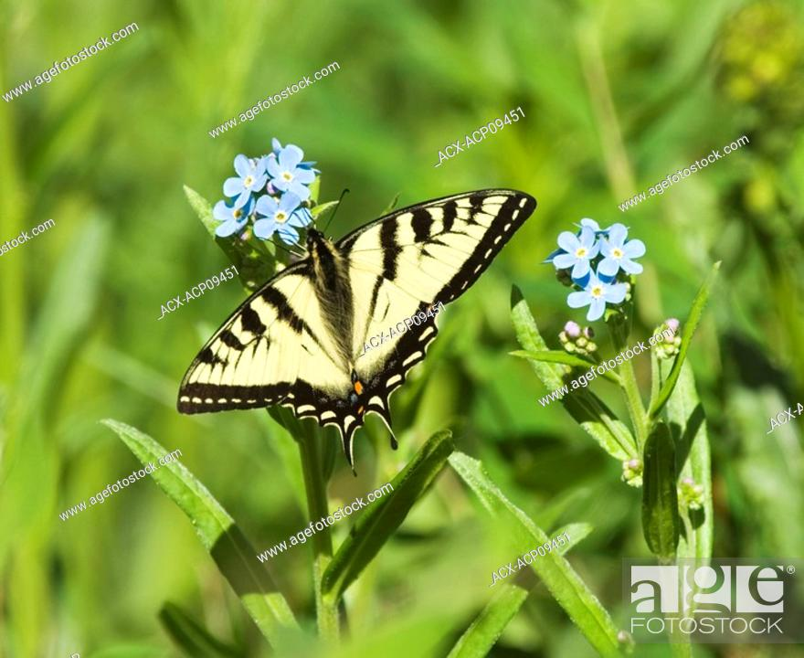 Stock Photo: Tiger Swallowtail Pterourus glaucus Butterfly Adult  This species is the most widely distributed tiger swallowtail  Feeding in groups adults take nectar from a.