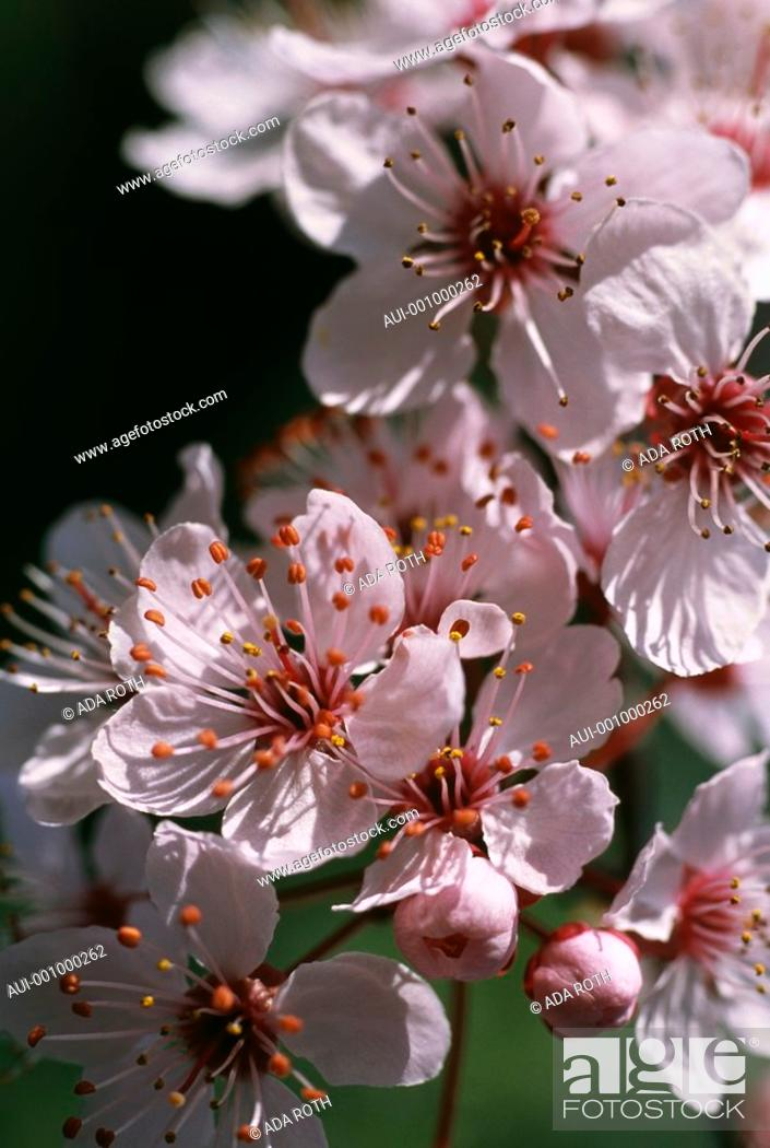Stock Photo: Prunus cerasifera - plenty of small attractive stars with numerous long filaments bearing ambery anthers.