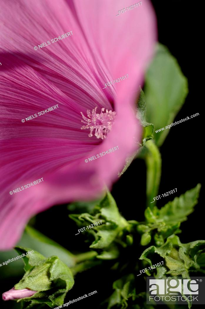 Stock Photo: Close-up of pink hibiscus flower blooming against black background.