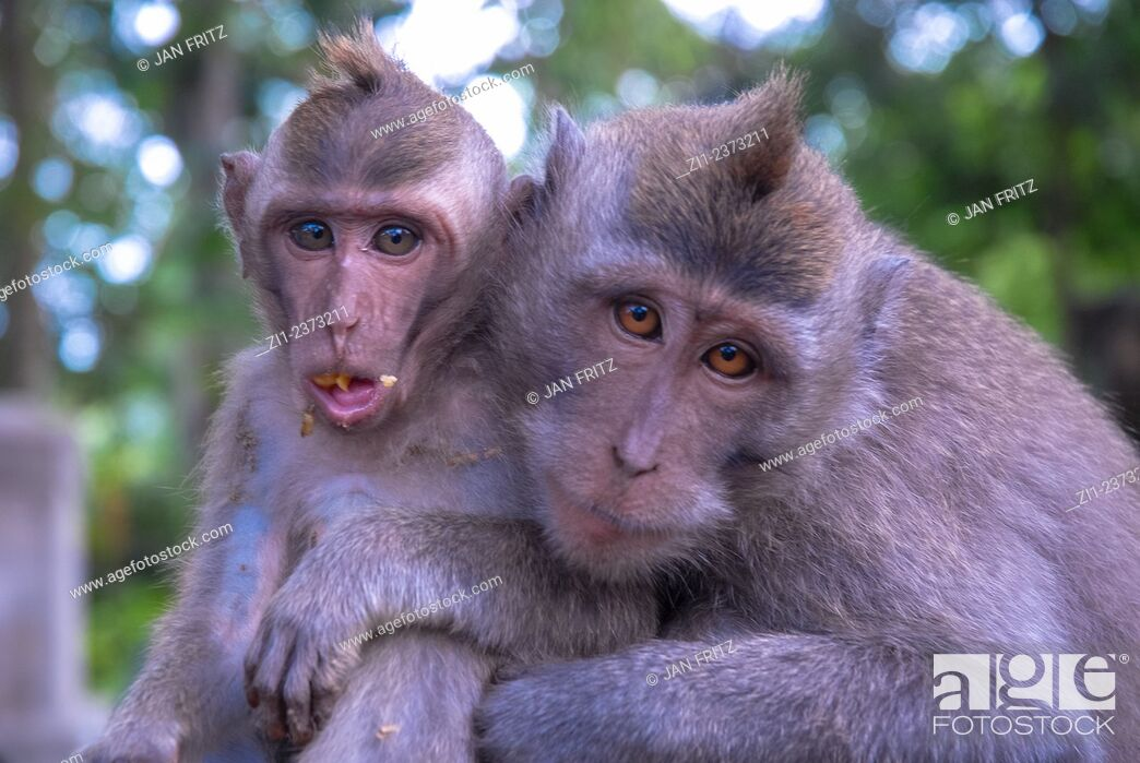Stock Photo: macaca monkey with young at Bali, Indonesia.