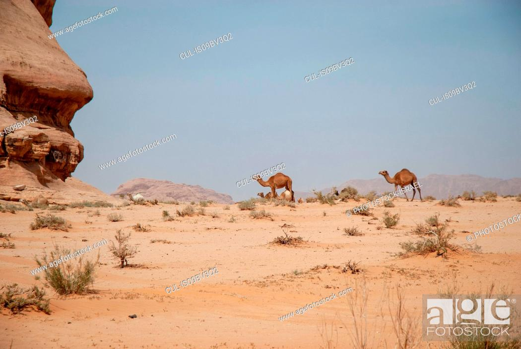 Stock Photo: Camels in desert landscape, Wadi Rum, Jordan.