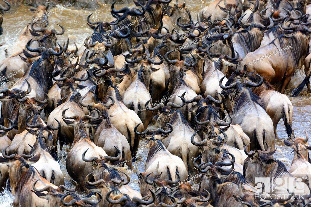 Imagen: Blue wildebeest or common wildebeest, white-bearded wildebeest or brindled gnu (Connochaetes taurinus) crossing the Mara River.