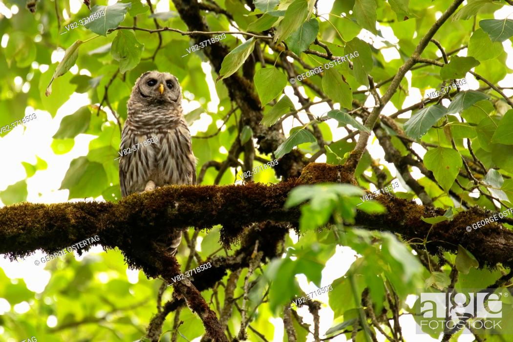 Stock Photo: Barred owl (Strix varia), Willamette Mission State Park, Marion County, Oregon.