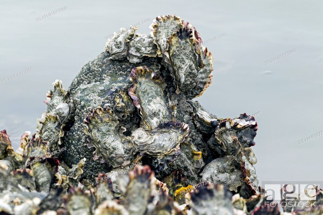 Stock Photo: Pacific Oysters (Crassostrea gigas) at the German North Sea coast, Germany. Pacific oysters have been introduced into the Wadden Sea by aquaculture in the 1980s.