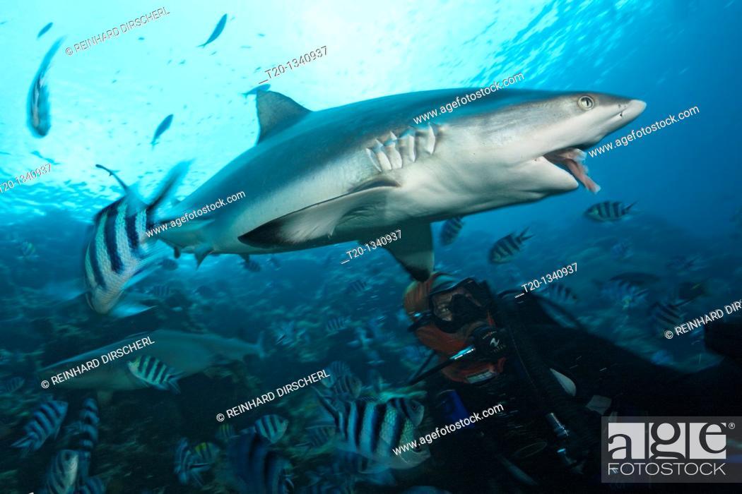 Stock Photo: Grey Reef Shark at Shark Feeding, Carcharhinus amblyrhynchos, Beqa Lagoon, Viti Levu, Fiji.