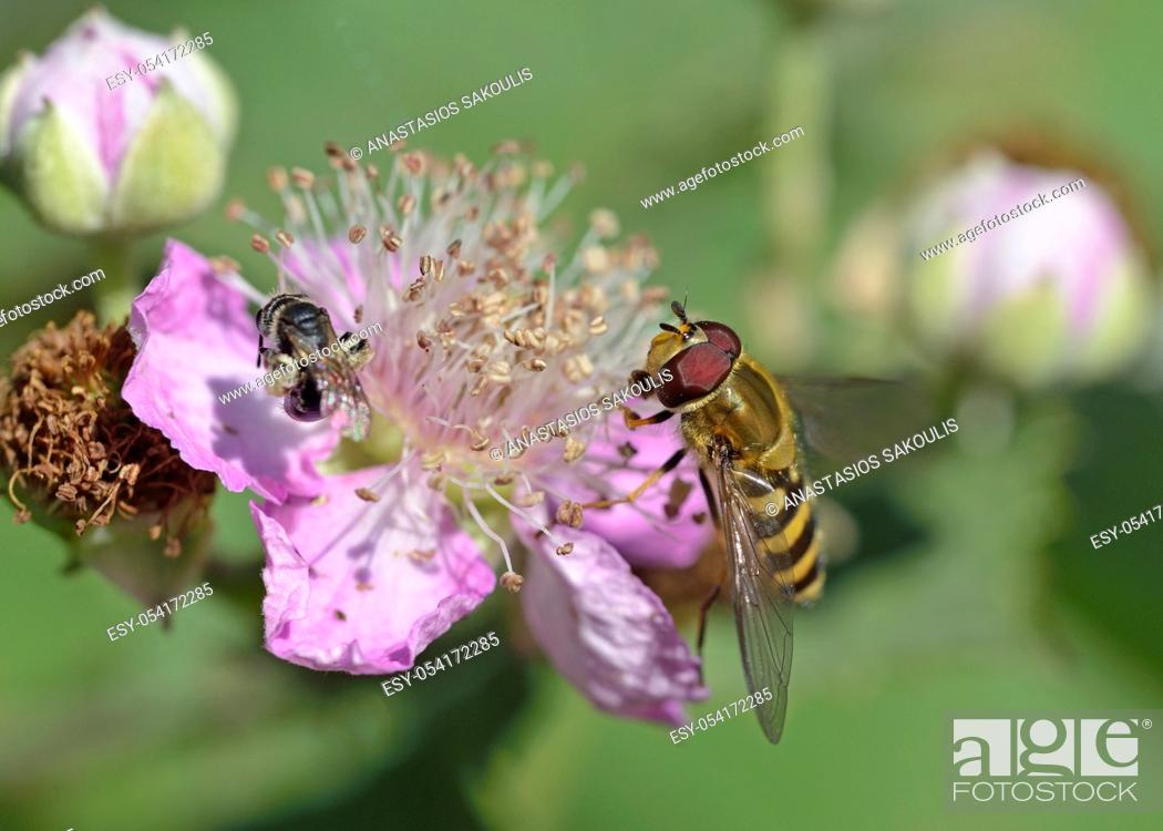 Stock Photo: The Syrphini are a tribe of hoverflies, Greece.