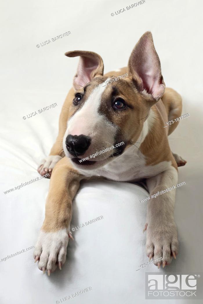 Stock Photo: Puppy Bull Terrier on white background - Milan, italy.