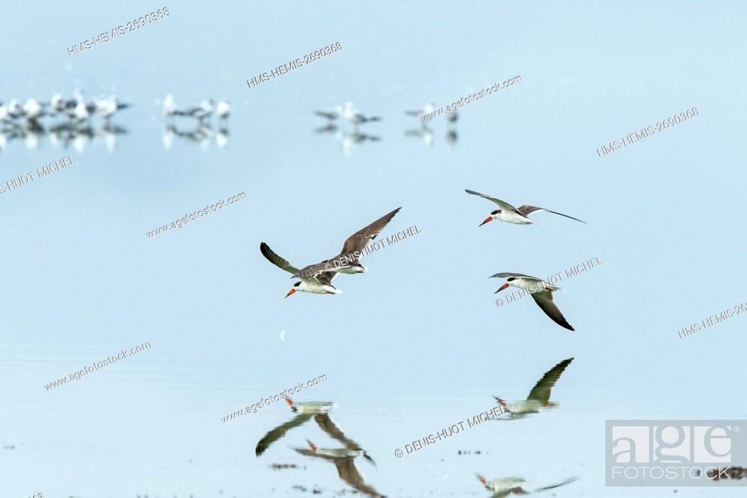 Stock Photo: Kenya, Soysambu conservancy, Elementeita lake, african Skimmer (Rynchops flavirostris).