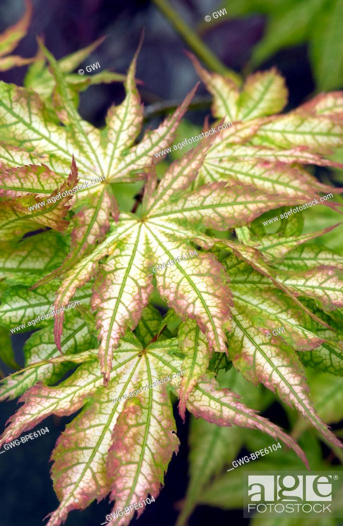 Acer Palmatum Ghost Dancer Stock Photo Picture And Rights