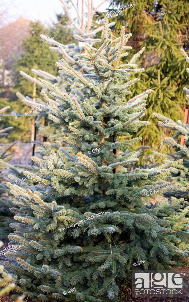 Stock Photo - PICEA PUNGENS GLAUCA (BLUE SPRUCE) THE CHRISTMAS TREE FARM  HAWKWELL - PICEA PUNGENS GLAUCA (BLUE SPRUCE) THE CHRISTMAS TREE FARM HAWKWELL