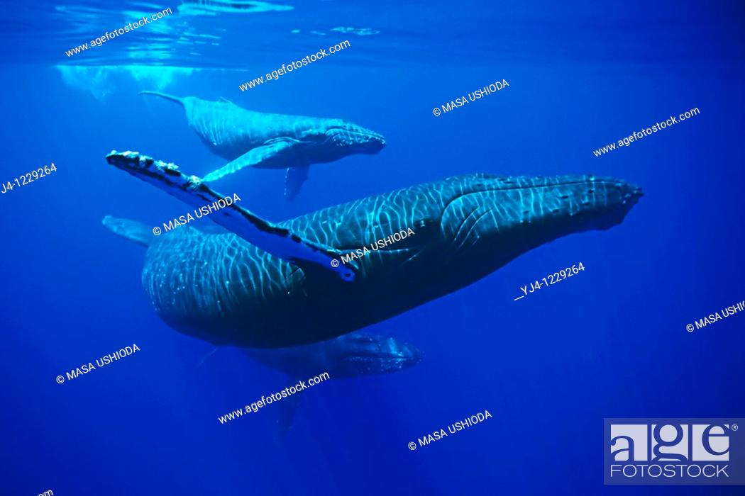 Stock Photo: humpback whales, Megaptera novaeangliae, mother, calf and escort, Hawaii, USA, Pacific Ocean.
