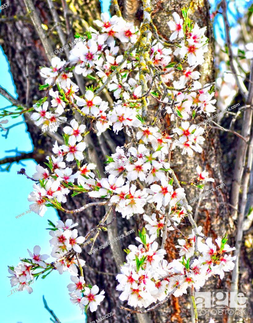 Stock Photo: Flowering tree in spring, Northwest of Spain.