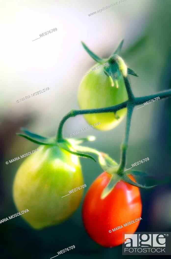 Stock Photo: Ripening Tomatoes Growing on a Vine. Solanum lycopersicon. August 2007, Maryland, USA.