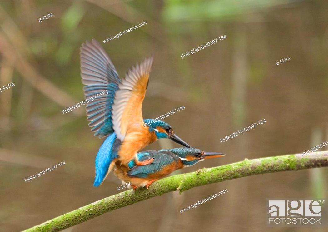 Stock Photo: Common Kingfisher Alcedo atthis adult pair, mating on branch, England, march.