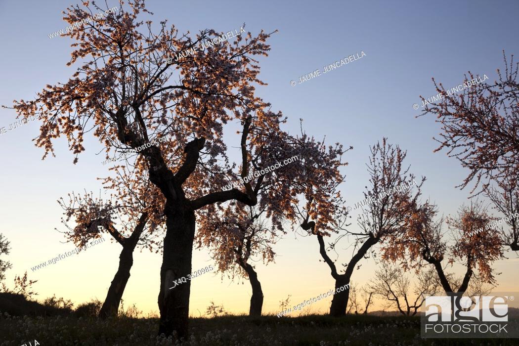 Stock Photo: Almonds blossom. Winter in Teruel Province.