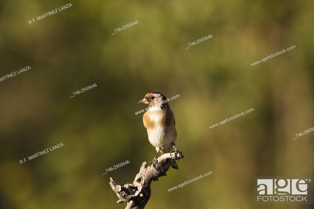 Imagen: European goldfinch (Carduelis carduelis). Sierra de Guadarrama, Madrid province, Spain.