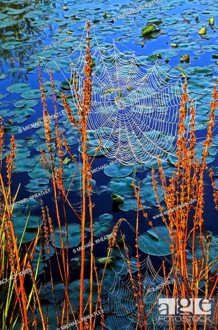 Stock Photo: dew on orb webs, Burnaby Lake Regional Park, Burnaby, British Columbia, Canada.