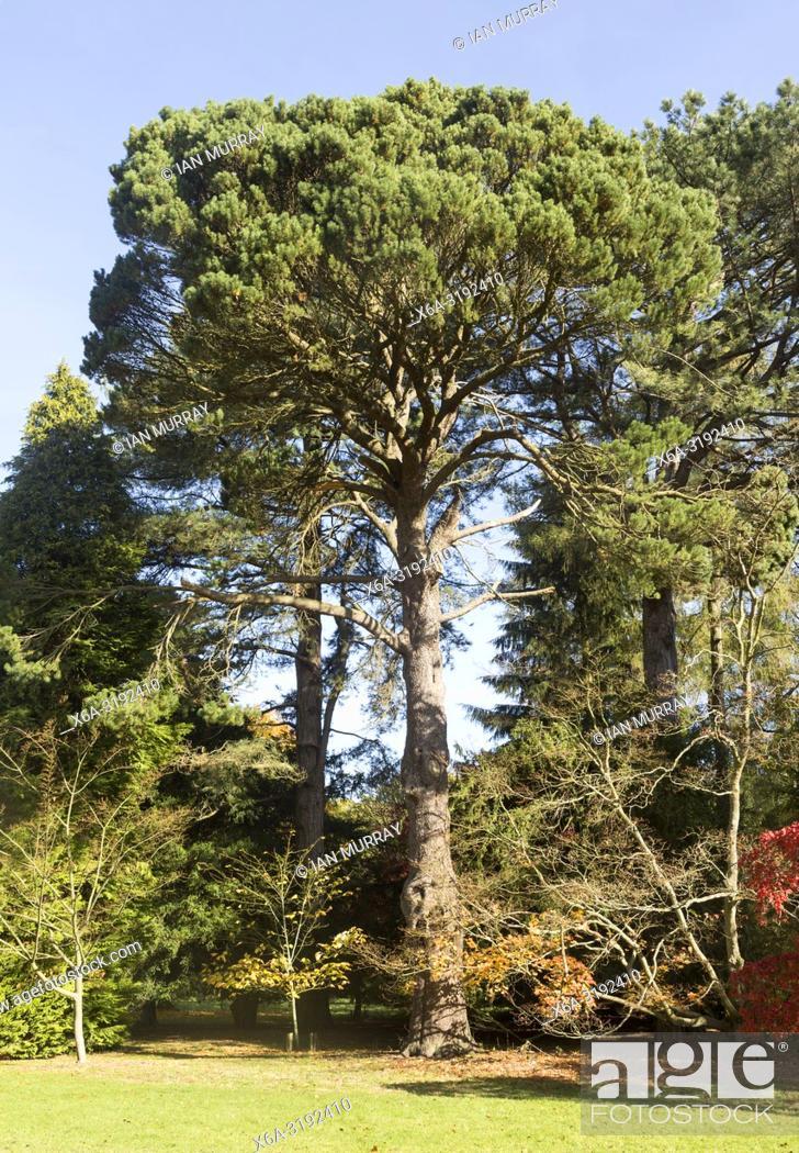 Imagen: Shore pine tree, Pinus contorta, National arboretum, Westonbirt arboretum, Gloucestershire, England, UK.