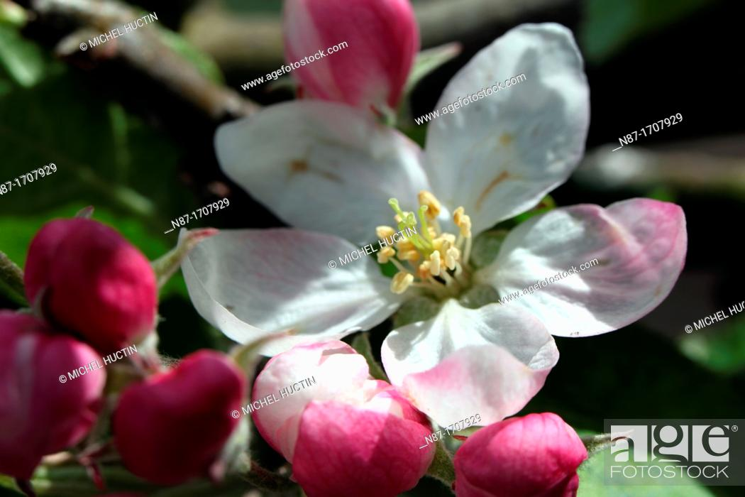 Stock Photo: flowers and buds of apple.