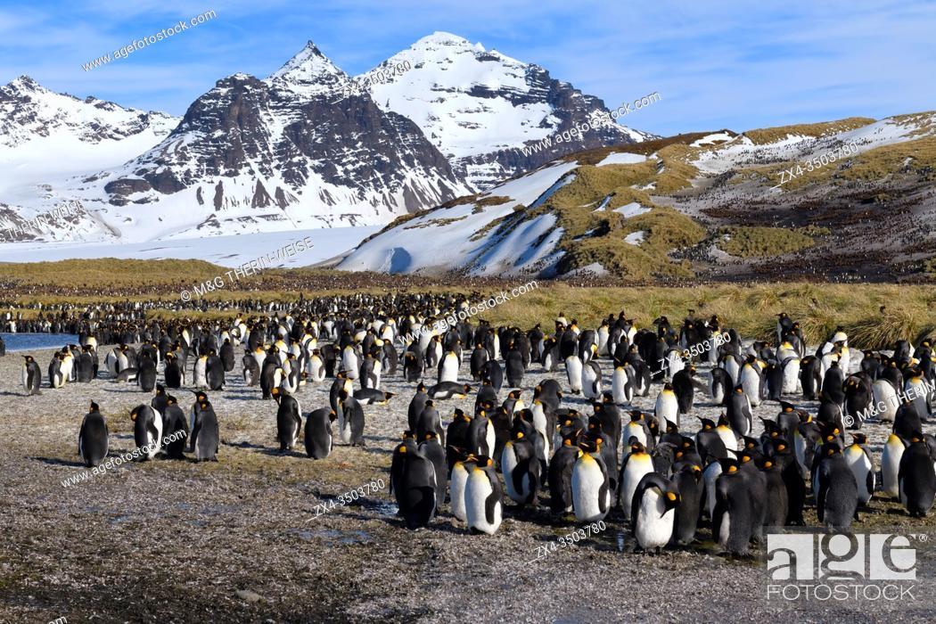 Stock Photo: King Penguin colony (Aptenodytes patagonicus) and snow covered mountains behind, Salisbury Plain, South Georgia Island, Antarctic.