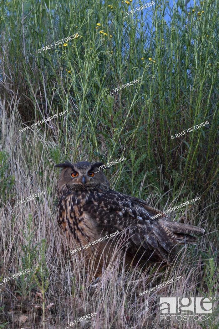 Stock Photo: Eurasian Eagle Owl ( Bubo bubo ), adult, sitting, watching for its chicks, bright orange eyes, at dusk, nightfall, wildlife, Europe.