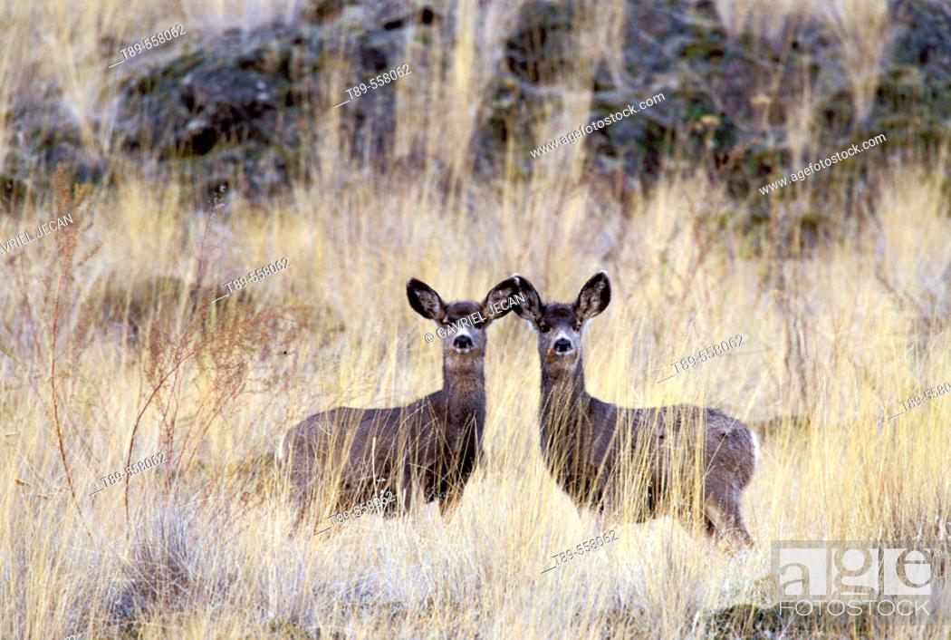 Stock Photo: NA, USA, Montana, National Bison Range White-tail fawn.