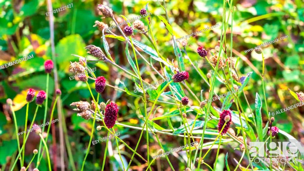Stock Photo: Sanguisorba officinalis flowers and green grass.