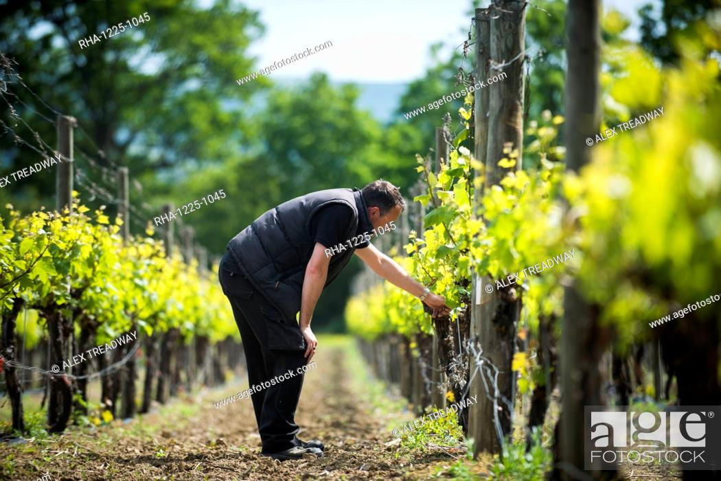 Stock Photo: Inspecting budding grapes in a vineyard in Sussex, England, United Kingdom, Europe.