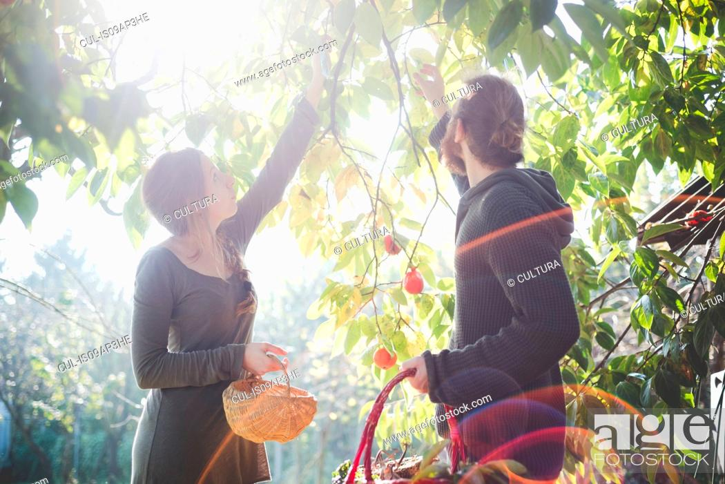 Stock Photo: Young couple picking apples from tree.