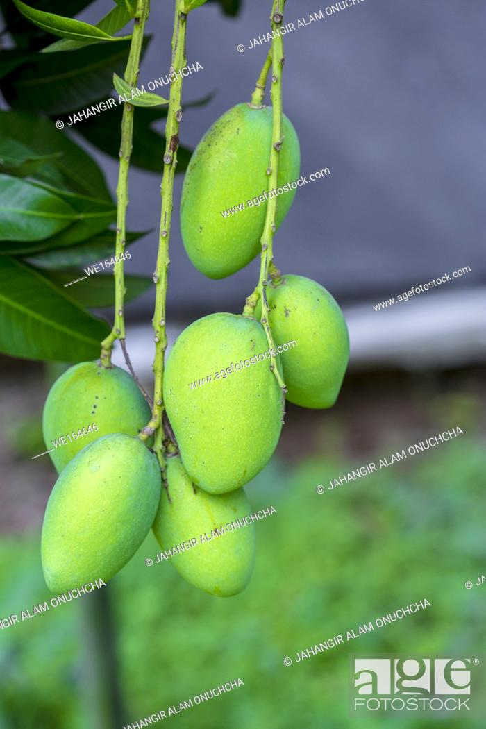 Stock Photo: The mango is a juicy stone fruit belonging to the genus Mangifera, consisting of numerous tropical fruiting trees, cultivated mostly for edible fruit.