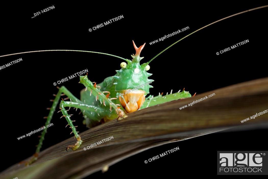 Stock Photo: Spiny devil katydid, Panacanthus cuspidatus, Napo, Ecuador.