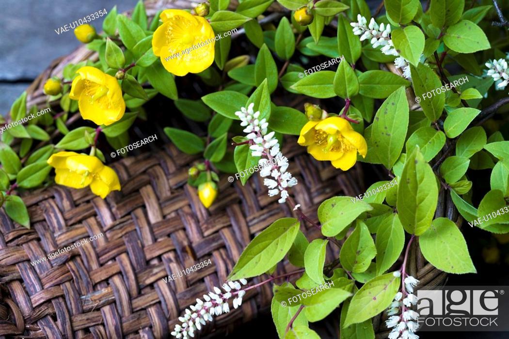 Stock Photo: Hypericum patulum and Itea virginica.