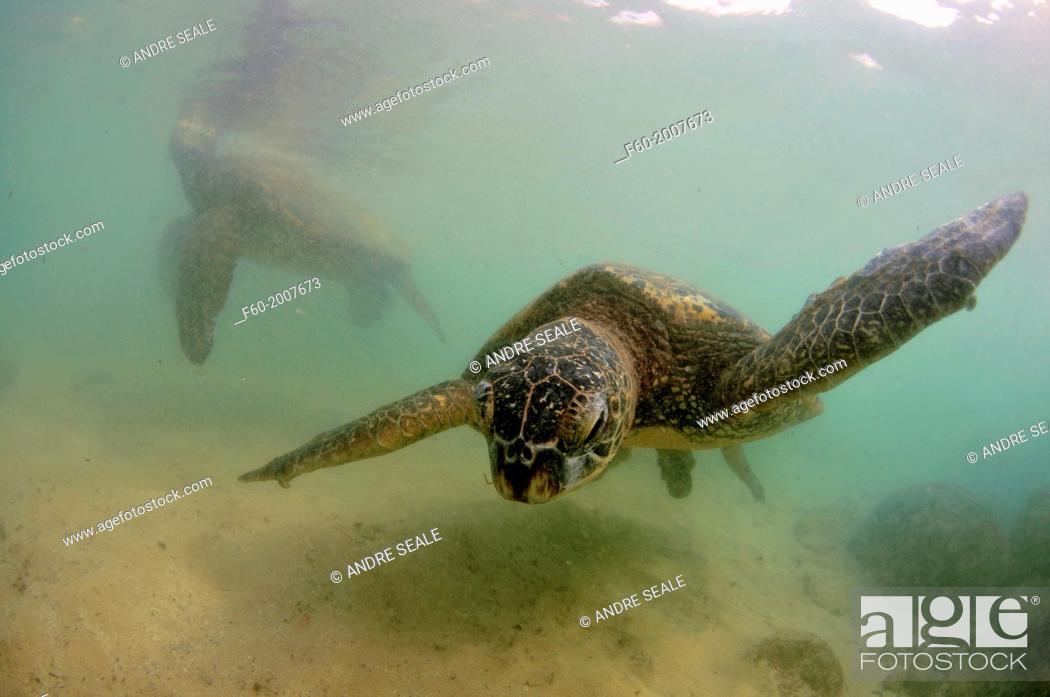 Stock Photo: Green sea turtles, Chelonia mydas, at Laniakea or Turtle Beach, Oahu, Hawaii, USA.