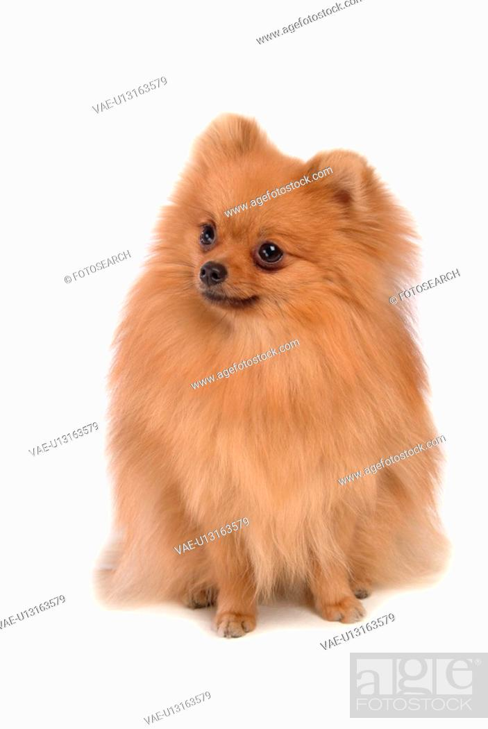Stock Photo: posed, domestic, pose, house pet, canines, pomeranian.
