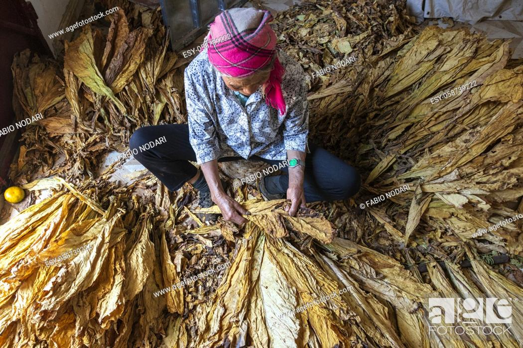 Stock Photo: Yiliang, China - March 1, 2021: eldelry woman sorting out tobacco leaves.