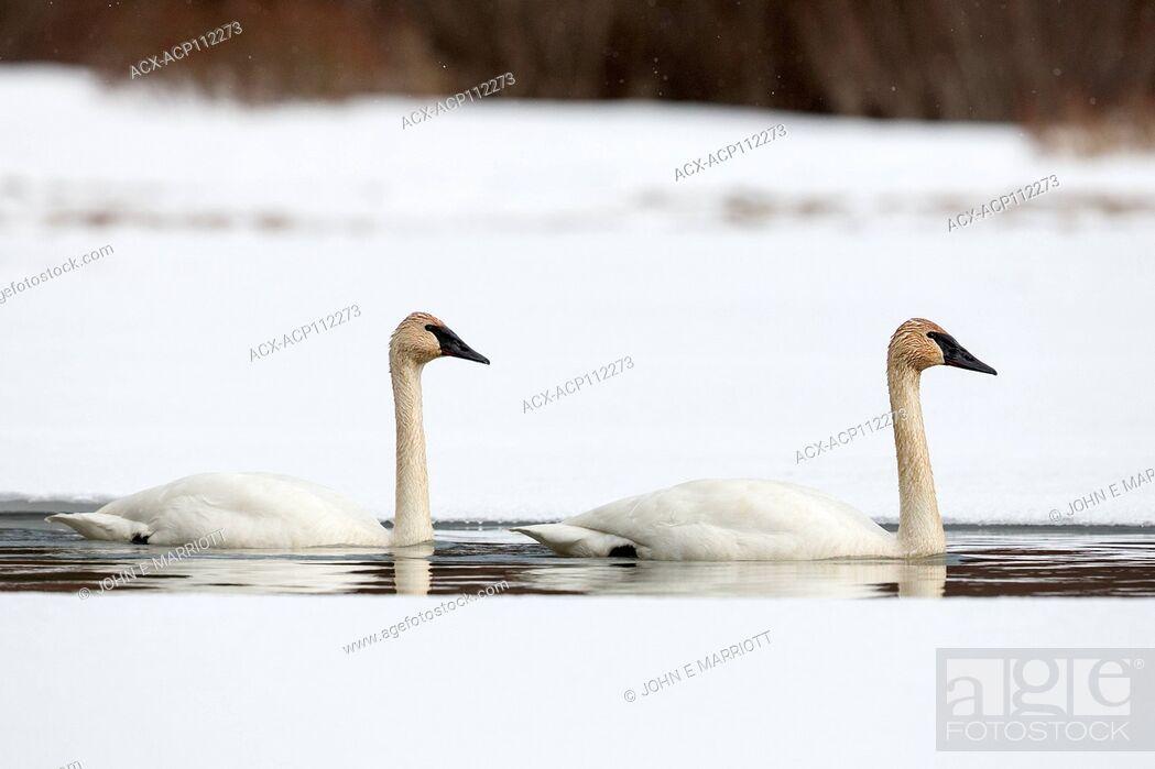 Stock Photo: Trumpeter swan, Cygnus buccinator.