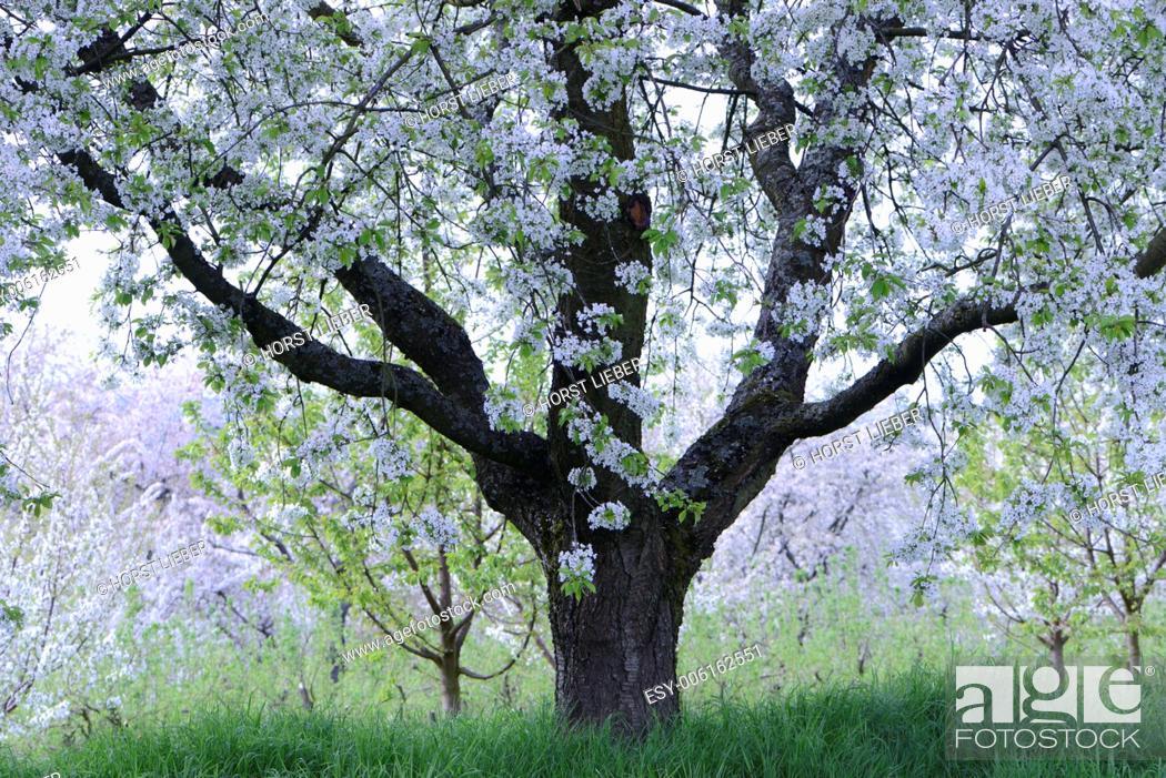 Stock Photo: The fruit tree blossom in Ortenau, Baden-Württemberg, Germany.