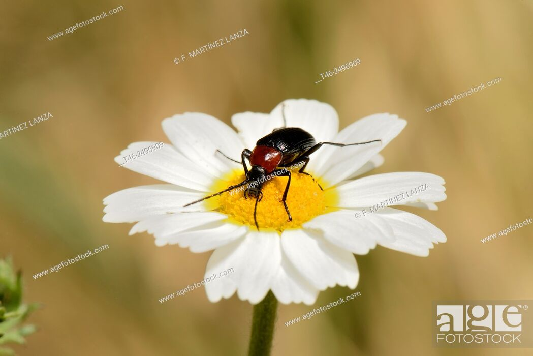 Stock Photo: Heliotaurus ruficollis. It is a beetle darkling diurnal that can be found in large numbers on various species of flowers.