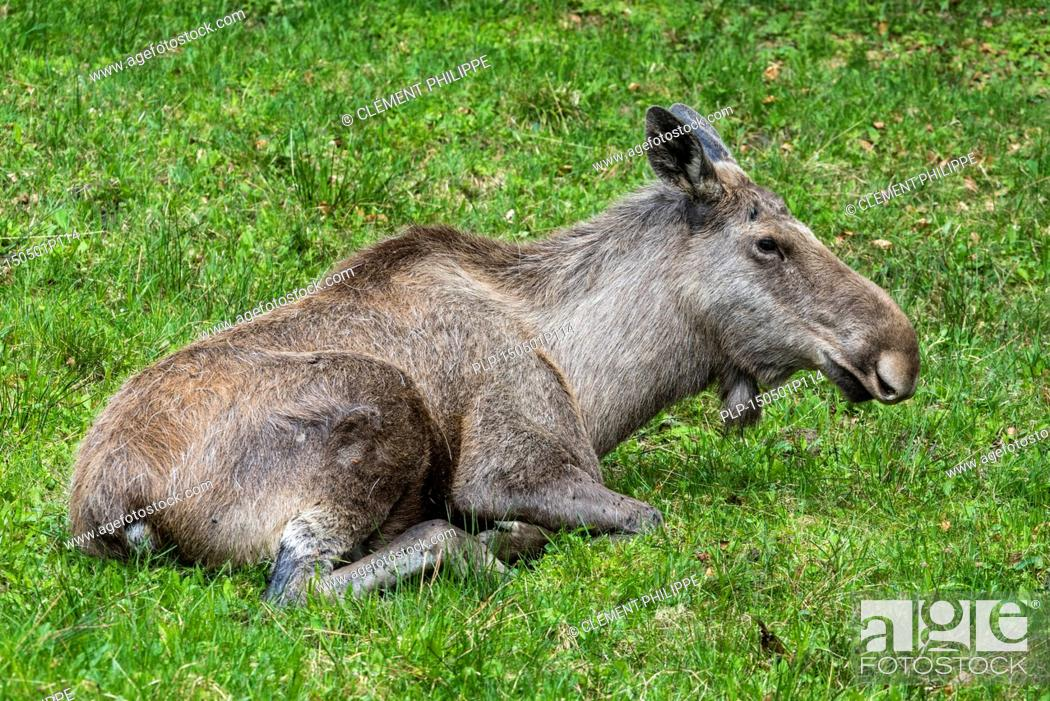 Stock Photo: Moose (Alces alces) female / cow resting in grassland.
