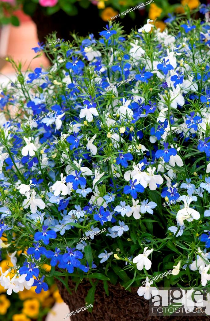 Lobelia Erinus Techno Blue Ray Mix Stock Photo Picture And