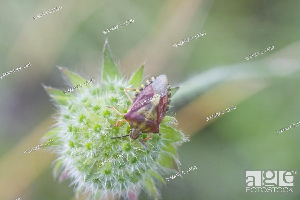 Stock Photo: Sloe Bug, Dolycoris baccarum. Colorful hairy shieldbug. Length: 10-12. 5mm. Pronotum is purplish red with red-purple elytra. Winter color is brown.