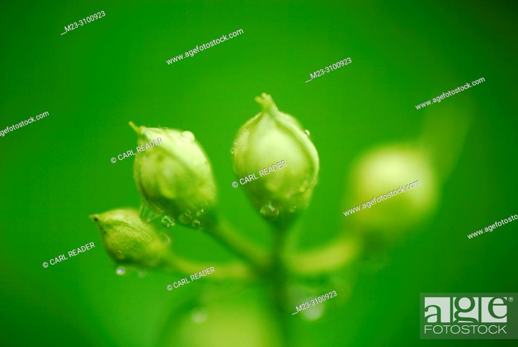 Imagen: Dewy buds in soft focus, Pennsylvania, USA.