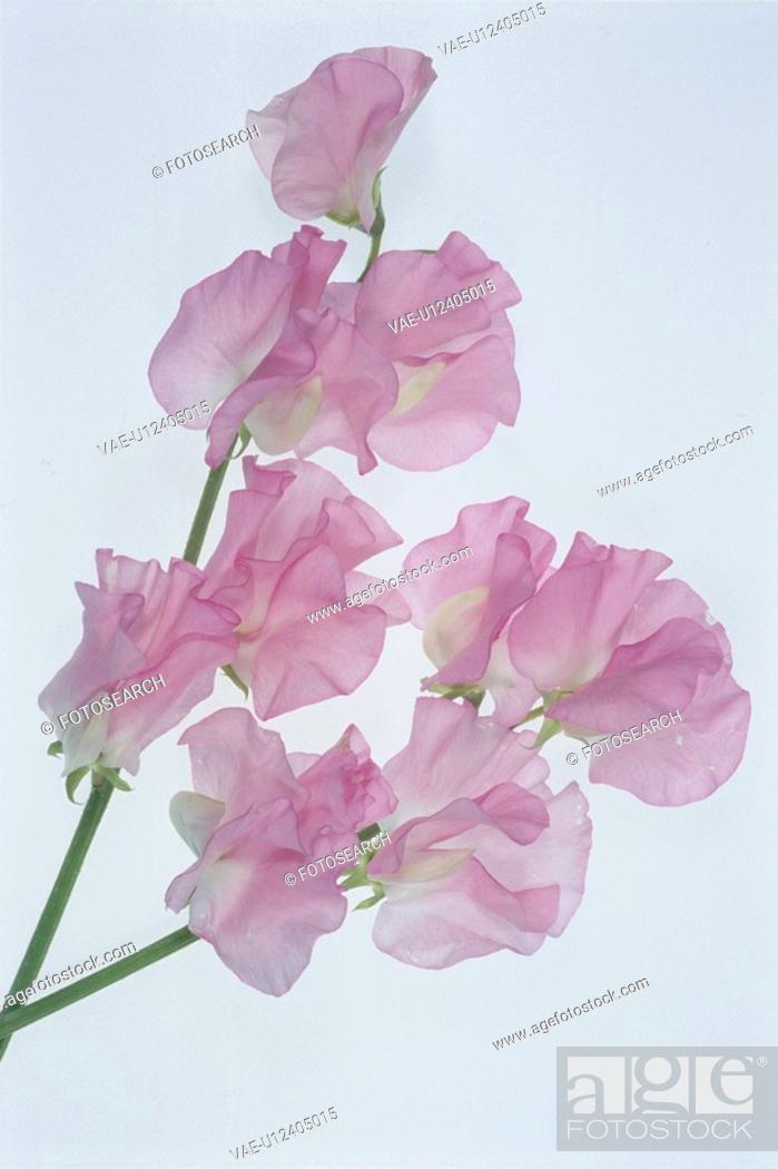 Stock Photo: Two Pink Sweet Peas.